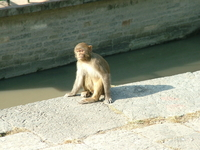 Pashupatinath Temple Monkey