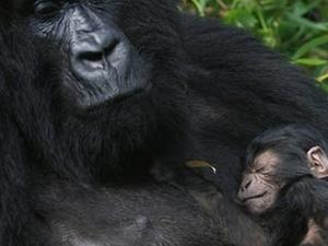 Gorilla Uganda Safaris