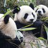 Panda Trio Sichuan China