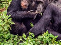 Chimpanzee Trekking Uganda