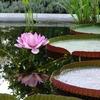 A Flowering Victoria In The Hortus Botanicus