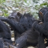 Gombe Chimpanzee Safari Package
