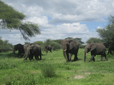 Elephants In Ngorongoro