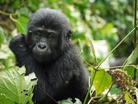 GORRILA TRACKING UGANDA