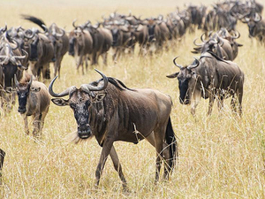 Incredible Migration Trails masai Mara & beach holiday Photos