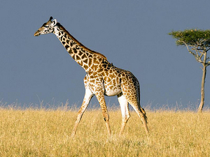 Last Munite Deal: Masai Mara/Amboseli Kenya Wildlife and Holidays Safaris Photos