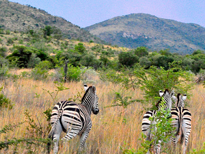 Pilanesberg Nature Reserve Safari and Sun-City Day Trip Photos