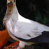 A Bird Feeding Of A Papaya