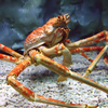 A Japanese Spider Crab