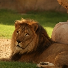 Al Ain Zoo Lion
