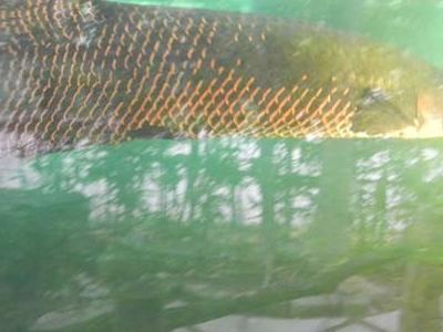 Aligator Spatula