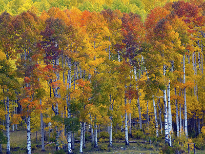 Aspens At Sunset, Purgatory