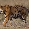 A Tiger In Bandhavgarh