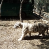 A White Tiger At Bannerghata Zoo