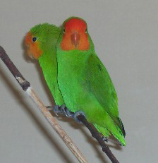 Red Faced Lovebird At Bamingui Bangoran National Park