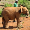 Baby Elephant With Handler