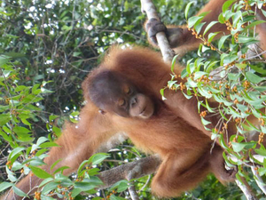Semenggok Orangutan Rehabilitation Centre Tour from Kuching Photos