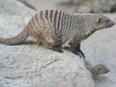 Banded Mongoose - Copenhagen Zoo