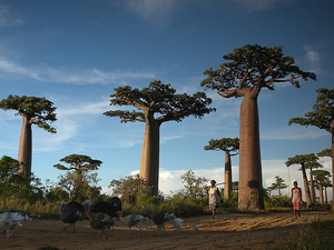 Baobabs and Lemurs Sighting Tour Photos