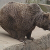 Bear In Kufri Zoo