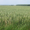 Cereal Field In Beauce - Ile-de-France