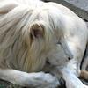 Beli Lav Belgrade Zoo