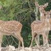 Bhitarkanika Deer