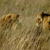 Big Cats Safaris
