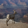 A Bighorn Ewe At The Grand Canyon