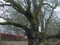 Birnam Oak