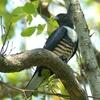 Black Baza At Mae Wong National Park