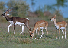 Blackbuck Antelope, PCWBS Flagship Species