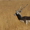 Blackbuck In Blackbuck National Park