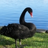 Black Swan Next To Lake Eola - Orlando FL