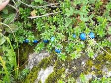 Gaultheria Trichophylla