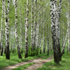 Birch Grove In Borzna