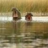 Botswana Okavango Hippos
