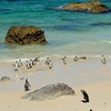 Boulders Beach Penguins SA Cape Peninsula