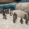 Boulders Beach SA Penguin Assembly