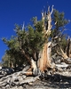 Bristlecone Pine, White Mountains, California.