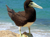 Brown Booby Beach