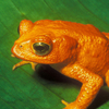 Monteverde's Golden Toad