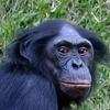 Bonobo Head