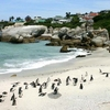 African Penguins At Boulders Bay