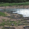 Caiman Yacare Group Pantanal