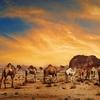 Camels In Wadi Rum Desert Of Jordan