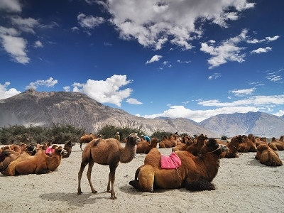 Camels Resting In Nubra Valley