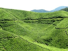 Cameron Highlands Tea Cultivation