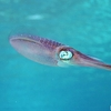 Caribbean Reef Squid At Honduras Bay Islands