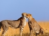 Cheetahs At Mara